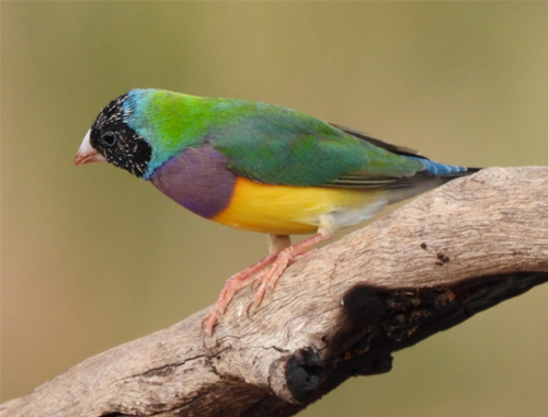 gouldian-cropped