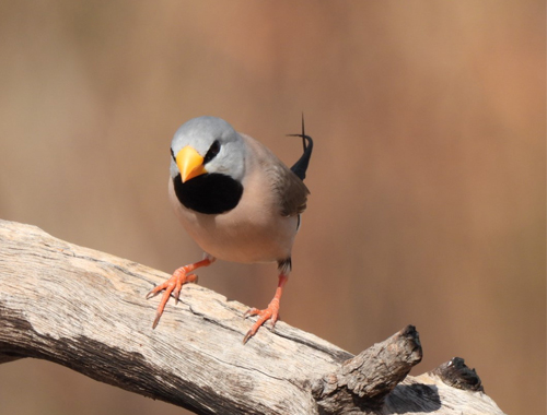 long-tailed-finch