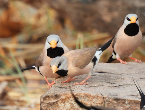 long-tailed-finches
