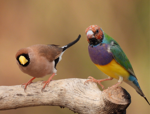 masked-finch-and-gouldian-finch